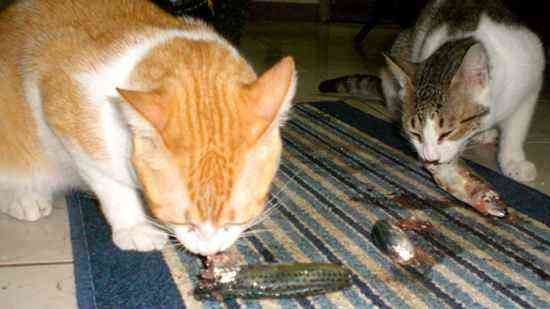 Does dog eat cat food for Can cats eat raw fish