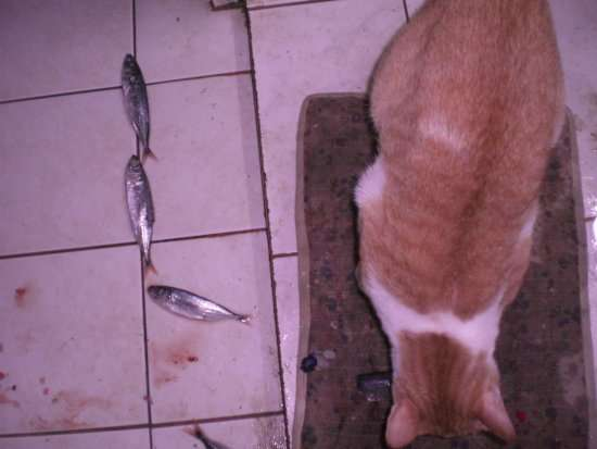 a picture of cats eating fish