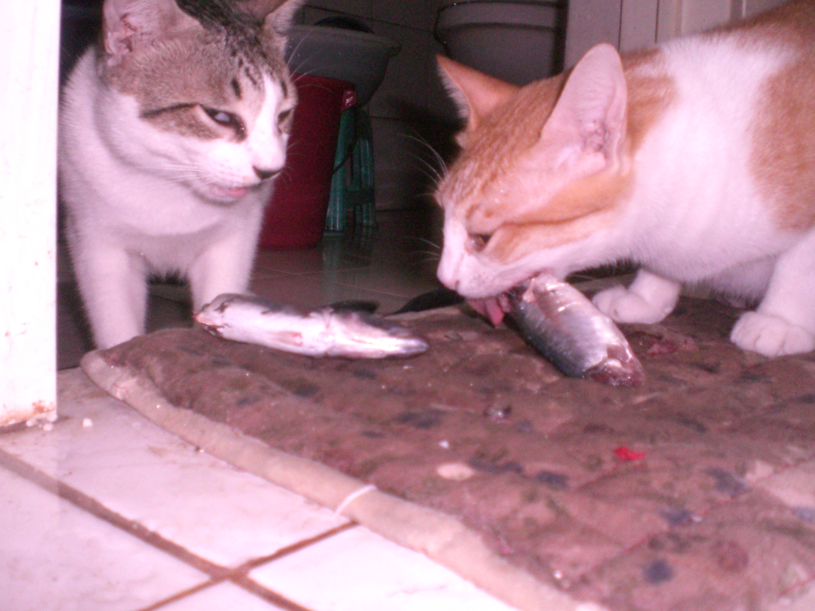 can cats eat raw fish with bones cute cats