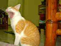 A ferociously yawning cat named Tiger